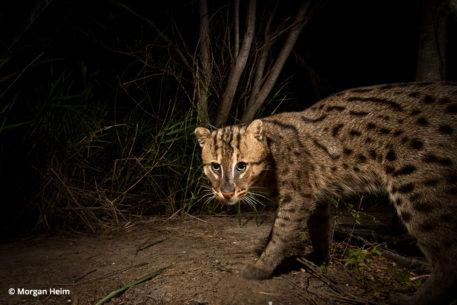 Conservation photographer Morgan Heim, fishing cat