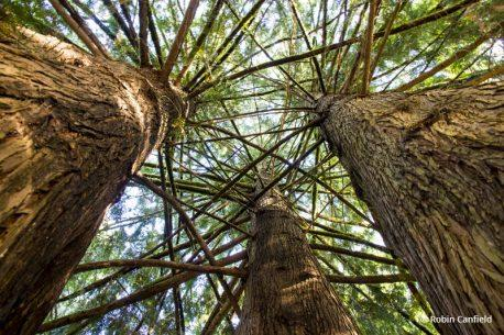 """Today's Photo Of The Day is """"Trunk To Sky In The Pacific Northwest"""" By Robin Canfield. Location: Ed Grenfell County Park, Yamhill County, Oregon."""