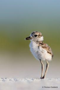 "Today's Photo Of The Day is Wilson's Plover Chick by Keith Walters. ""I arrived before sunrise to locate one of the Wilson Plover families."