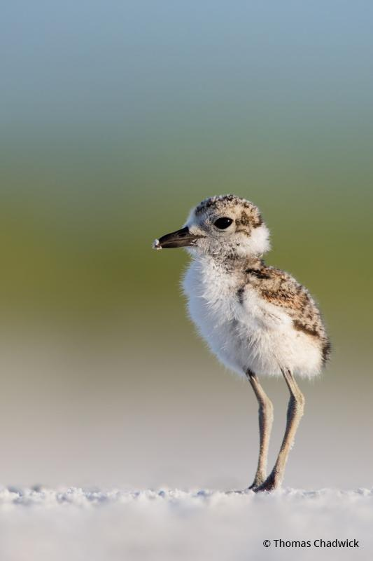"""Today's Photo Of The Day is Wilson's Plover Chick by Keith Walters. """"I arrived before sunrise to locate one of the Wilson Plover families."""