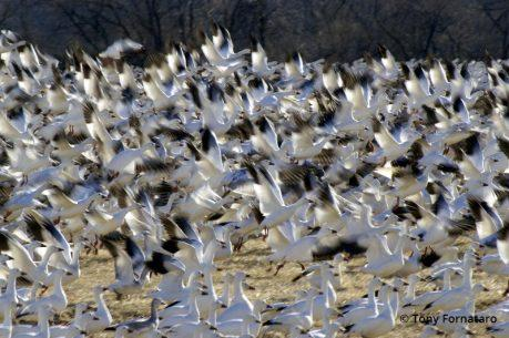 """Today's Photo Of The Day is """"Clamorous Wings"""" by Tony Fornataro."""