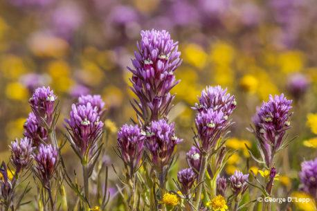 Owl's clover and goldfields in Coastal California.
