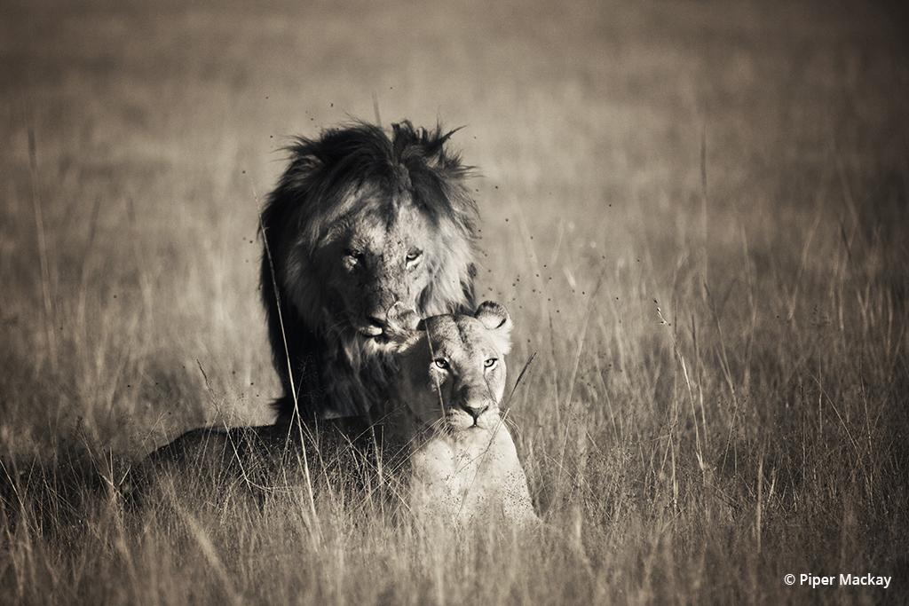 A fast click of the shutter, just as this male lion approached the female, captured a powerful moment. Maasai Mara, Kenya.