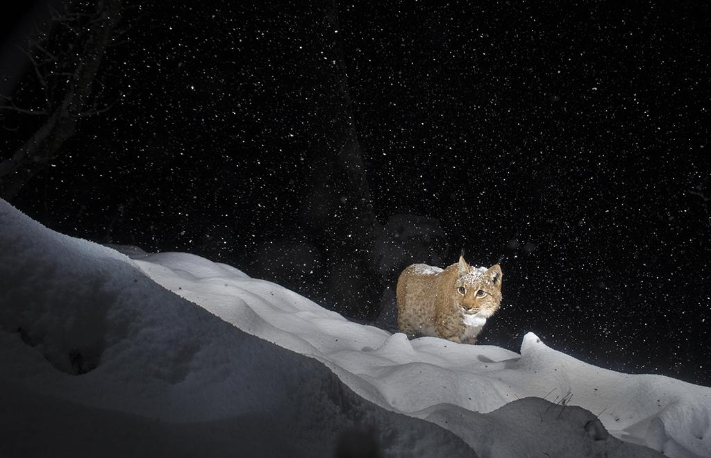 Laurent Geslin will present a program titled, European Lynx: Revealed at the International League of Conservation Photographers' WILDspeak Symposium.