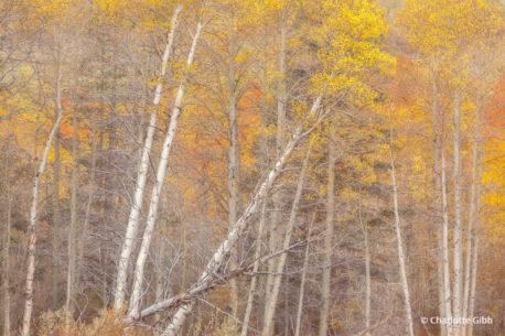 """Today's Photo Of The Day is """"Autumn Tango"""" by Charlotte Gibb. Location: Eastern Sierra Nevada Mountain Range, California."""