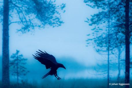 """Today's Photo Of The Day is """"Blue Raven"""" by Johan Siggesson. Location: Eastern Finland."""