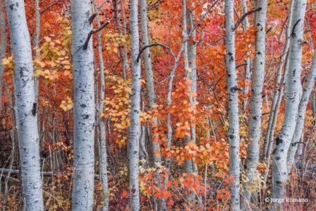 """Today's Photo Of The Day is """"Aspens In Fall"""" by Jorge Romano. Location: Inyo National Forest, California."""