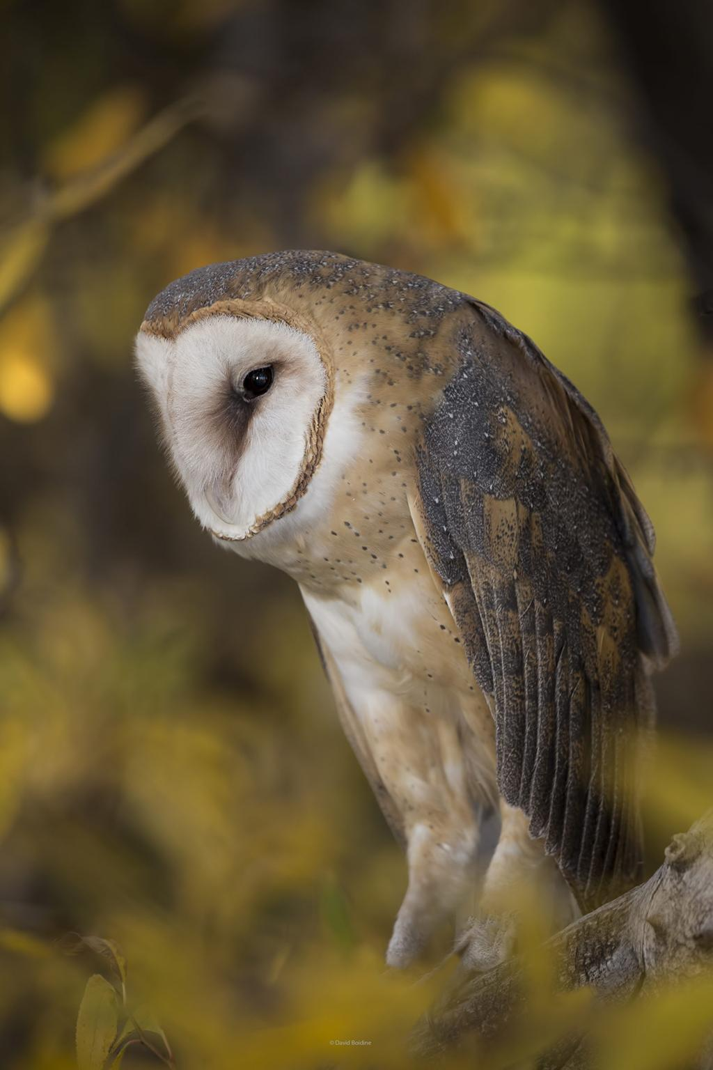 Today's Photo Of The Day is Morning Barn Owl by David Bodine.