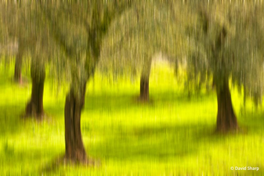 """Today's Photo Of The Day is """"Olive Grove Dreams"""" by David Sharp. Location: Sonoma Valley, CA."""