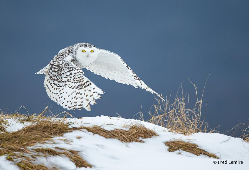 """Today's Photo Of The Day is """"Snowy Owl"""" by Fred Lemire. Location: Quebec City, Canada."""
