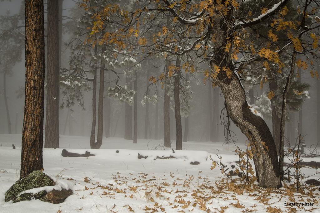 "Today's Photo Of The Day is ""Fog Oak"" by Kathy Ritter. Location: Happy Jack, Arizona."