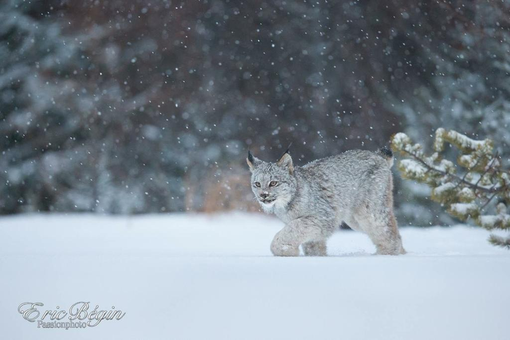 """Today's Photo Of The Day is """"Lynx du Canada"""" by Eric Begin. Location: Quebec, Canada."""