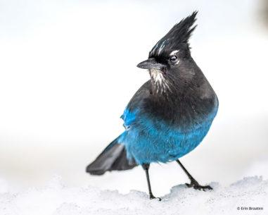 """Today's Photo Of The Day is """"Stellar's Jay in Snow"""" by Erin Braaten. Location: Montana."""