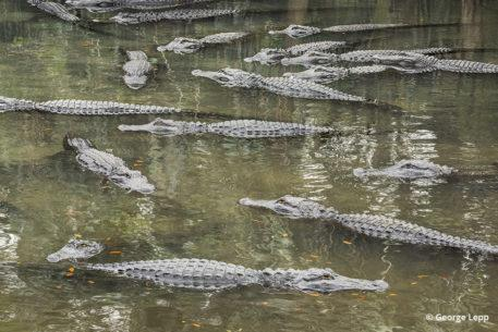 Gators by George Lepp