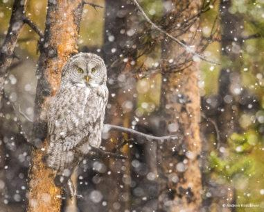 """Today's Photo Of The Day is """"Great Gray Owl in a Snowstorm"""" by Andrew Ketsdever. Location: Yellowstone National Park, WY."""