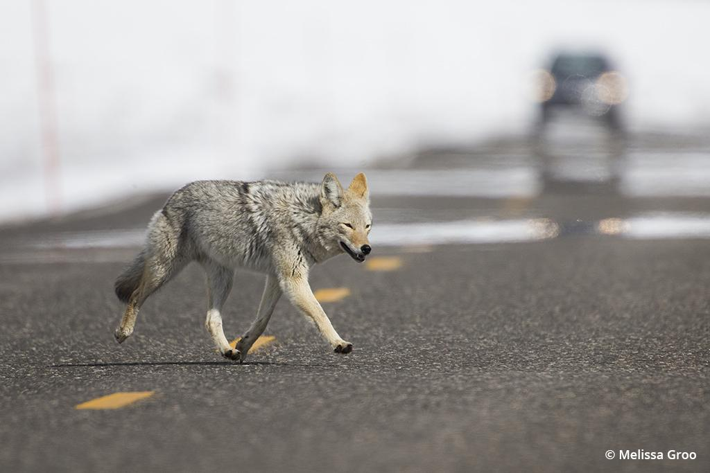 Coyote in Yellowstone by Melissa Groo