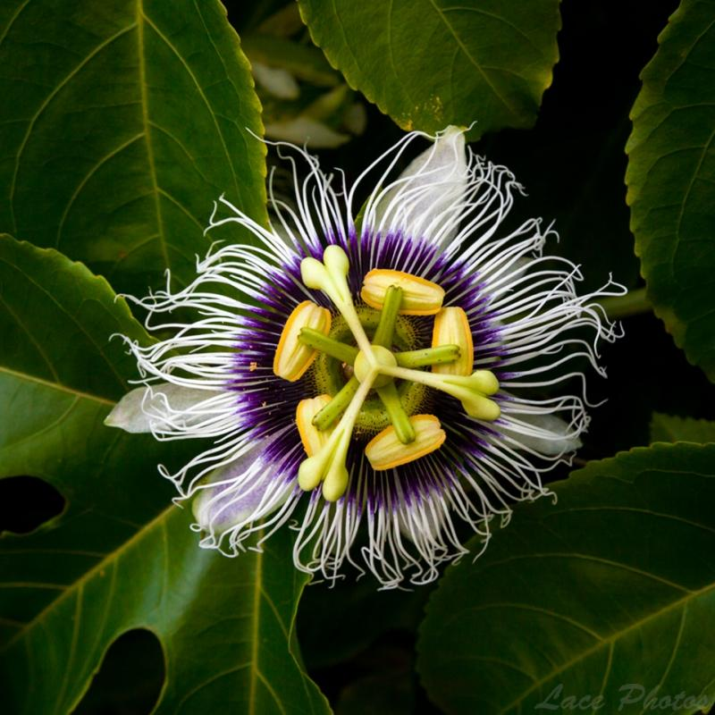 "Today's Photo Of The Day is ""Passion Fruit Flower"" by Lace Andersen. Location: Hawaii."