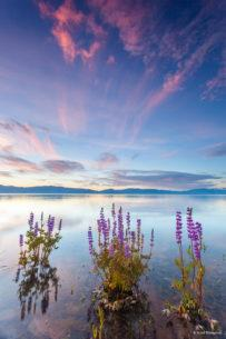 "Today's Photo Of The Day is ""Tahoe Lupine at Sunrise 4"" by Scott Thompson. Location: Lake Forest Beach, Lake Tahoe, CA."