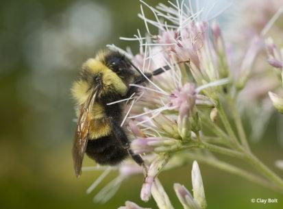 Rusty-patched bumble bee by Clay Bolt