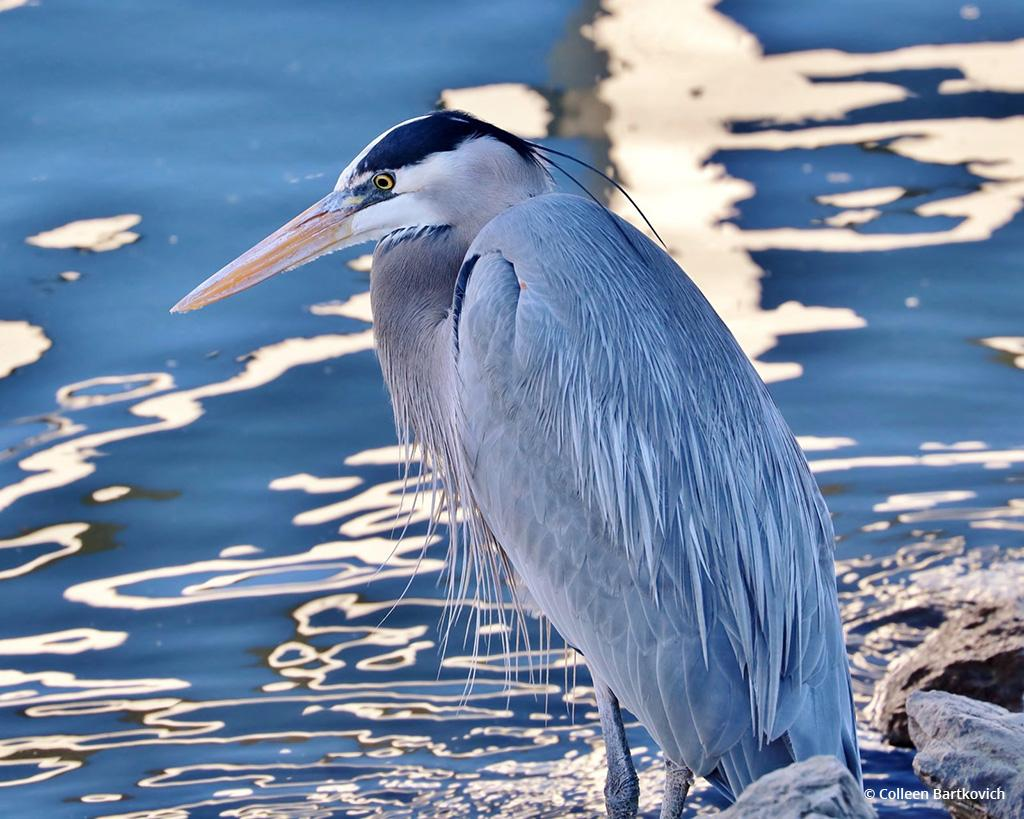 """Today's Photo Of The Day is """"Heron"""" by Colleen Bartkovich. Location: Ventura Harbor, California."""