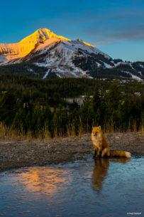 """Today's Photo Of The Day is """"Conversation with a Fox"""" by Paul Holdorf. Location: Big Sky, Montana."""
