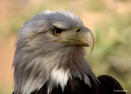 """Today's Photo Of The Day is """"Bald Eagle"""" by Lana Gramlich"""