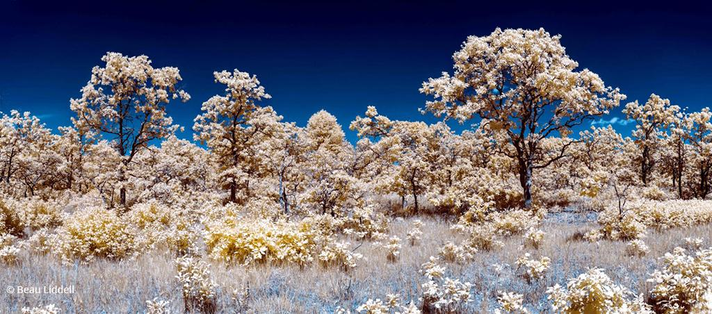 """Today's Photo Of The Day is """"Infrared Savanna"""" by Beau Liddell. Location: Near Buckman, Minnesota."""
