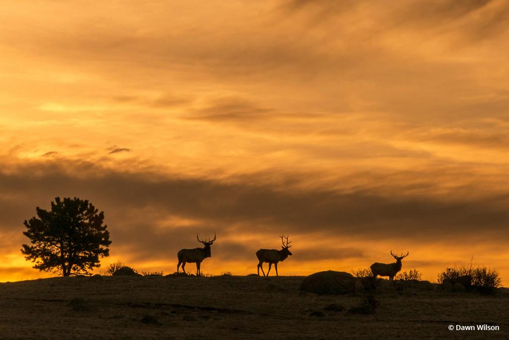 """Today's Photo Of The Day is """"Elk on Ridge"""" by Dawn Wilson. Location: Rocky Mountain National Park, Colorado."""