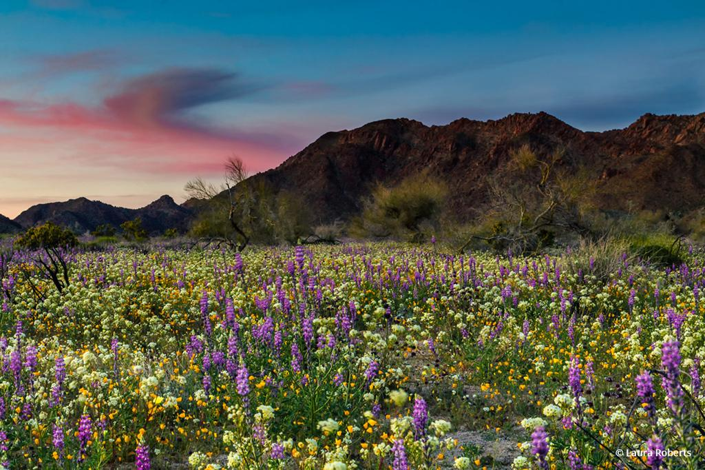 """Today's Photo Of The Day is """"Lupine Sunset"""" by Laura Roberts. Location: Joshua Tree National Park, California."""