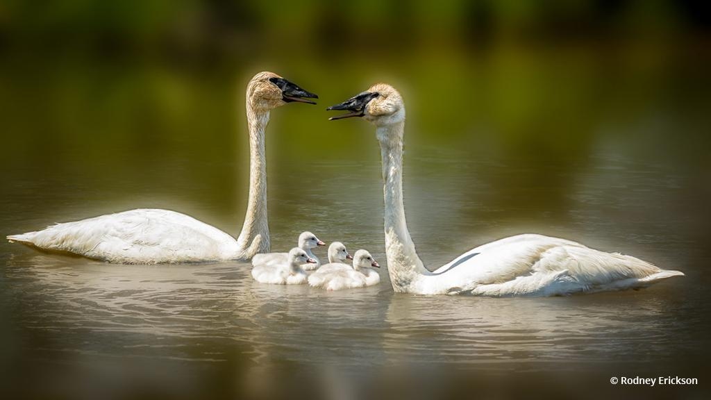 """Today's Photo Of The Day is """"Trumpeter Swan Family"""" by Rodney Erickson. Location: Seney National Wildlife Refuge, Michigan."""