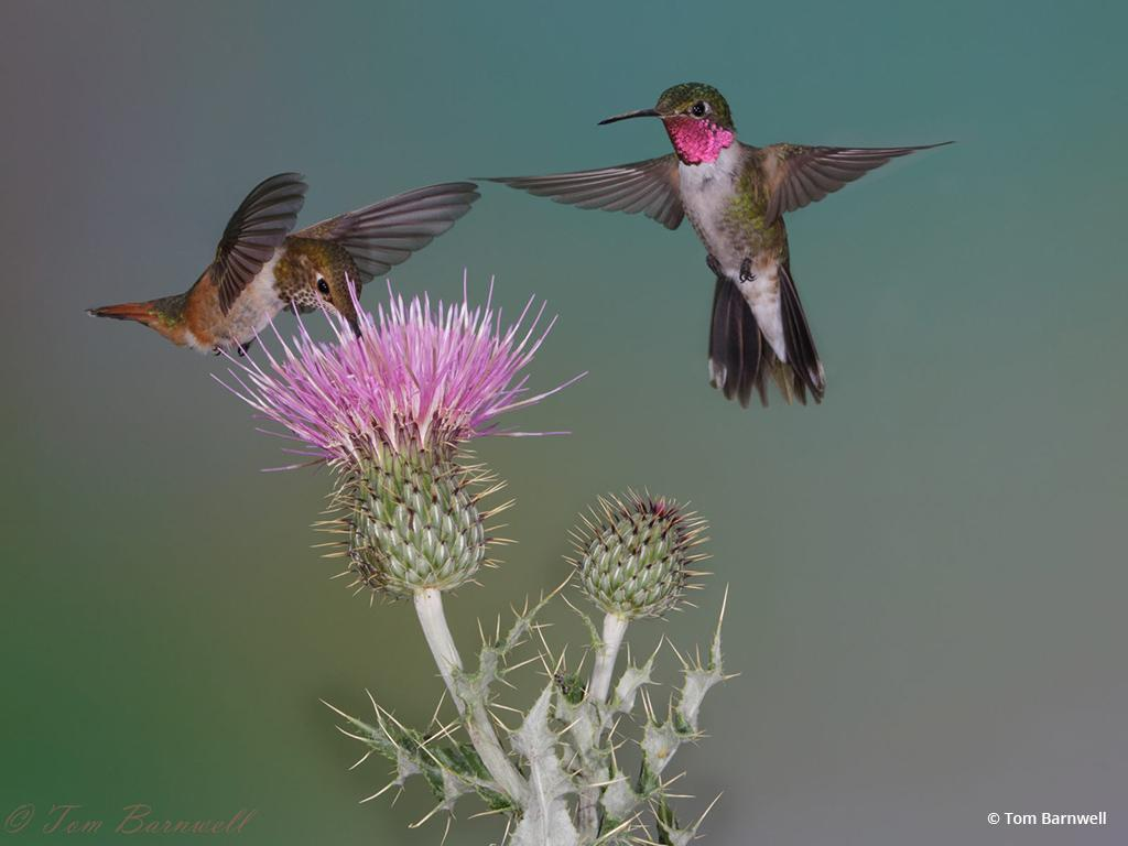 """Today's Photo Of The Day is """"Broadtailed Hummingbirds at Thistle"""" by Tom Barnwell. Location: Springerville, AZ."""