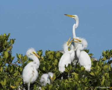 "Today's Photo Of The Day is ""Family of Egrets"" by Constance Mier. Location: Everglades National Park, Florida."