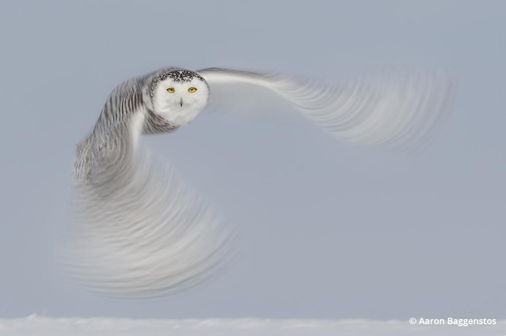 Creative blurs for wildlife photos: Wing blur of an owl