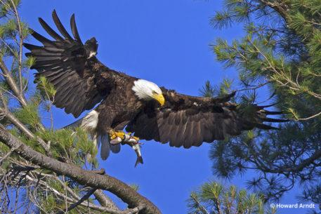 Photographing bald eagles: Eagle father returns with fish for dinner