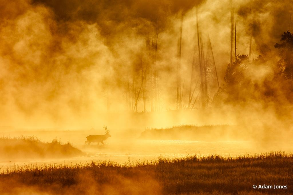 Bull elk crossing steaming Madison River at sunrise, Madison Junction, Yellowstone