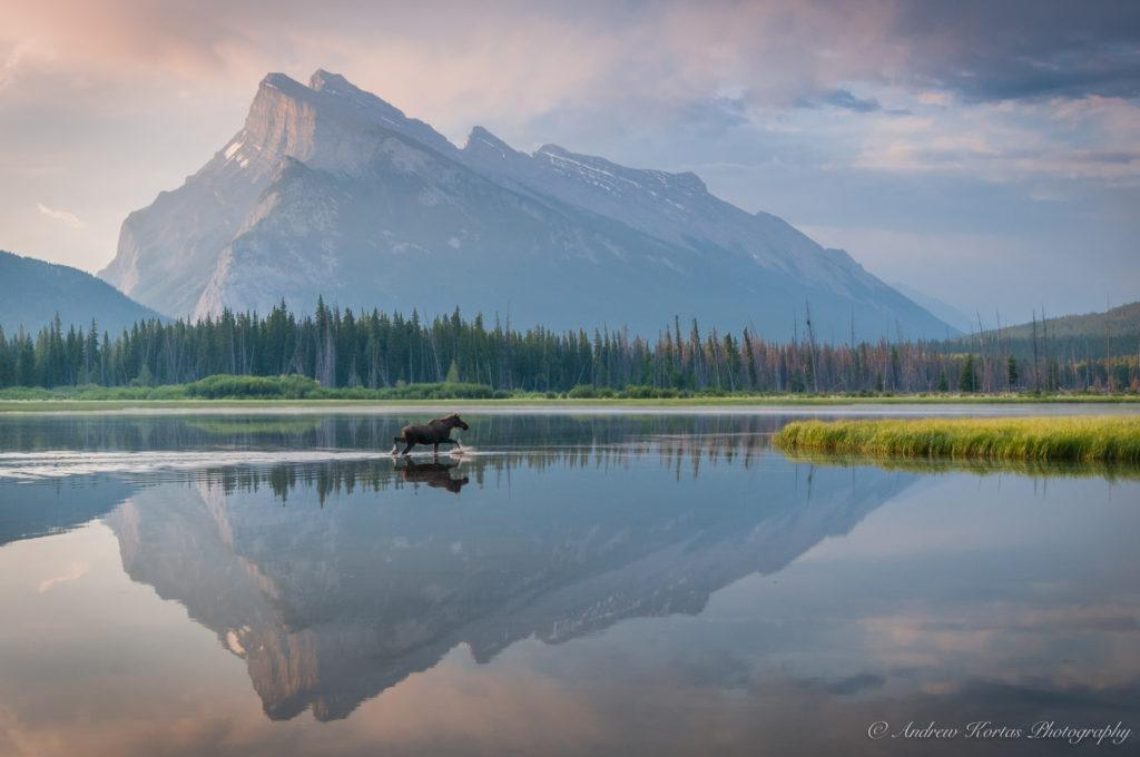 "Today's Photo Of The Day is ""Vermillion Lake Moose"" by Andrew Kortas. Location: Banff National Park, Alberta, Canada."