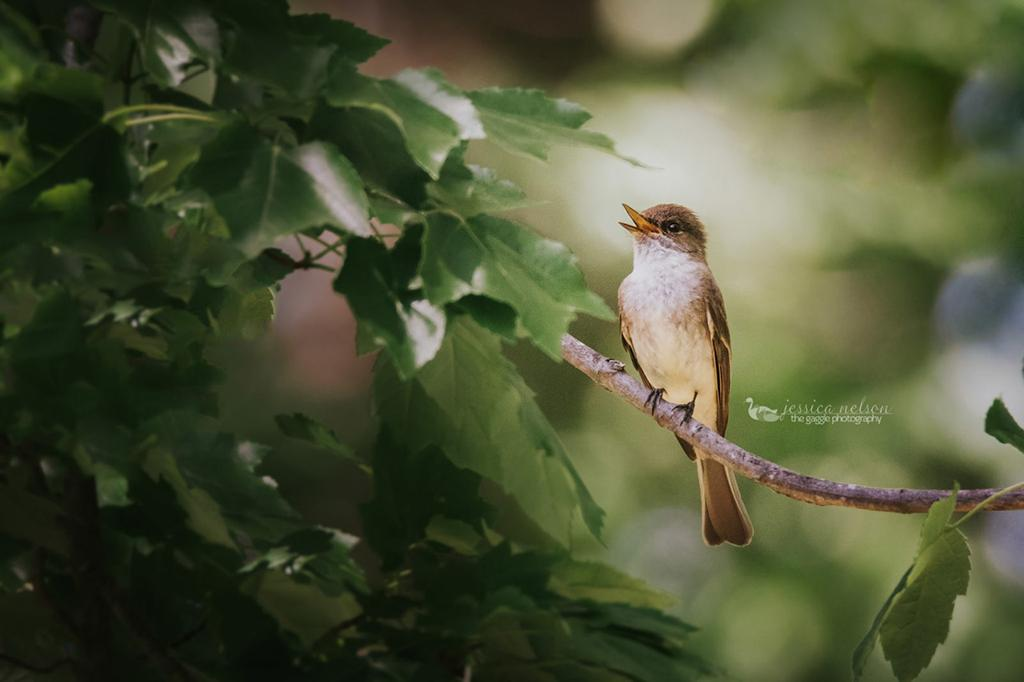 "Today's Photo Of The Day is ""Eastern Phoebe"" by Jessica Nelson. Location: Dayton, Maryland."