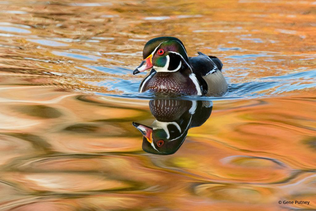 """Today's Photo Of The Day is """"Wood Duck Drake"""" by Gene Putney. Location: Littleton, Colorado."""