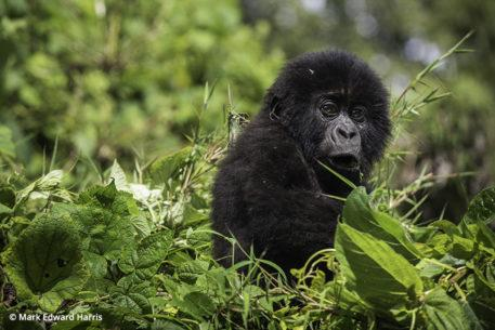Young gorilla seen while gorilla trekking