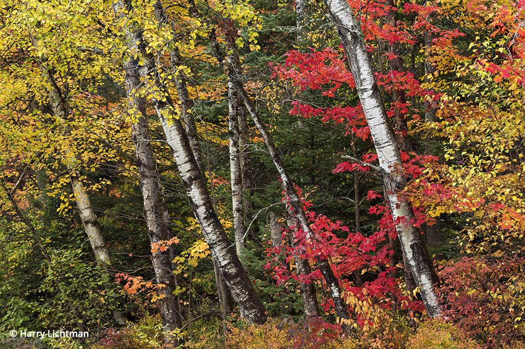 White Mountains for fall color: birches and maples