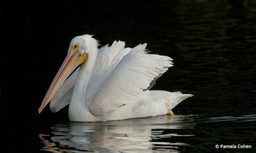 low key lighting white pelican