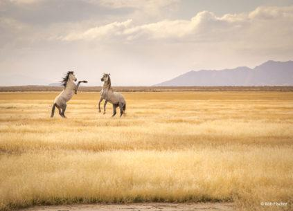 "Today's Photo Of The Day is ""Pony Express Wild Horses"" by Rob Fischer. Location: Utah."