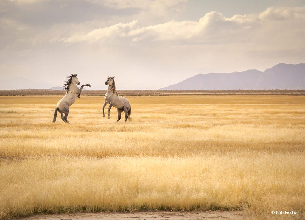 """Today's Photo Of The Day is """"Pony Express Wild Horses"""" by Rob Fischer. Location: Utah."""