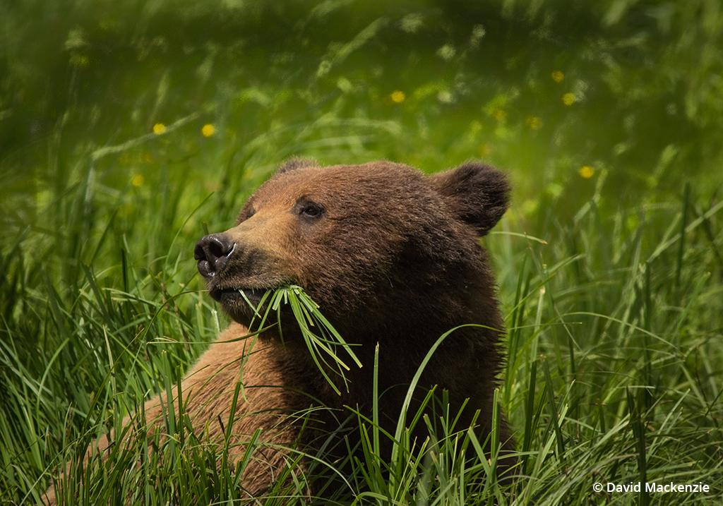 Grizzly bear in the Great Bear Rainforest