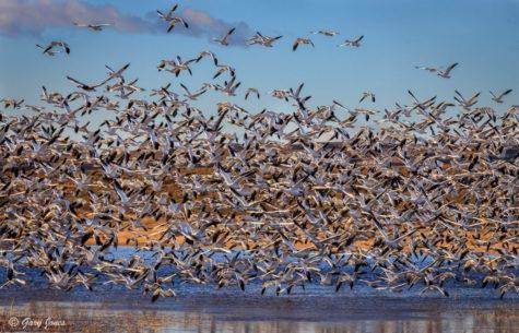 "Today's Photo Of The Day is ""Blast Off"" by Gary Jones. Location: Bosque del Apache National Wildlife Refuge, New Mexico."
