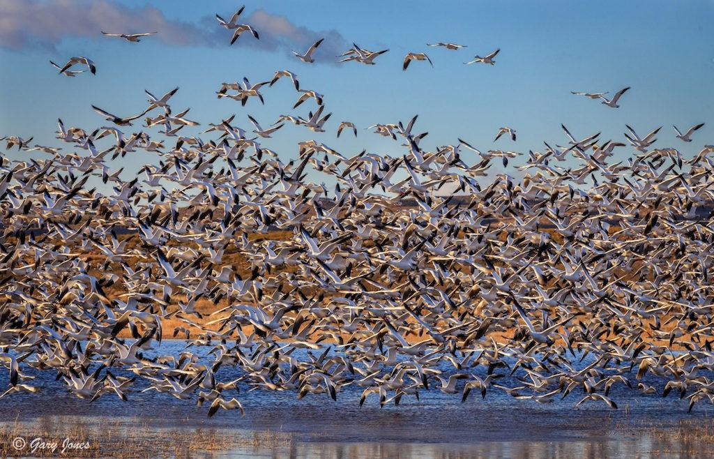 """Today's Photo Of The Day is """"Blast Off"""" by Gary Jones. Location: Bosque del Apache National Wildlife Refuge, New Mexico."""