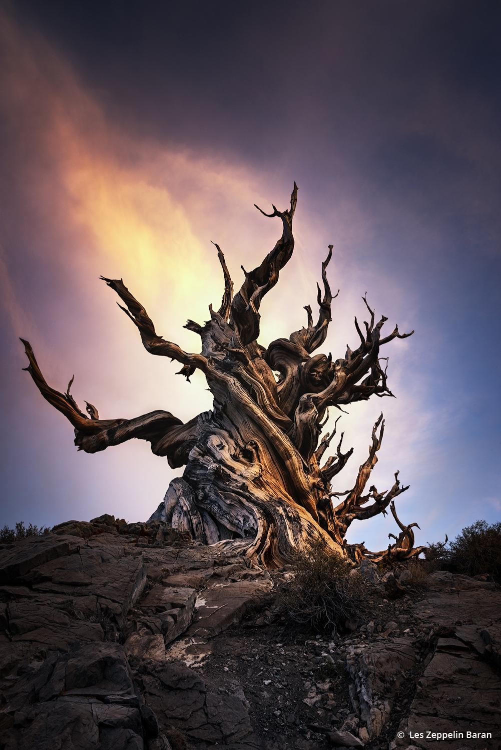 """Today's Photo Of The Day is """"Guardian of the Sky"""" by Les Zeppelin Baran. Location: Ancient Bristlecone Pine Forest, White Mountains, California."""
