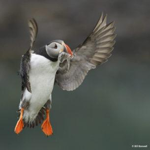 "Today's Photo Of The Day is ""Icelandic Puffin"" by Bill Boswell. Location: A puffin preserve in Eastern Iceland."