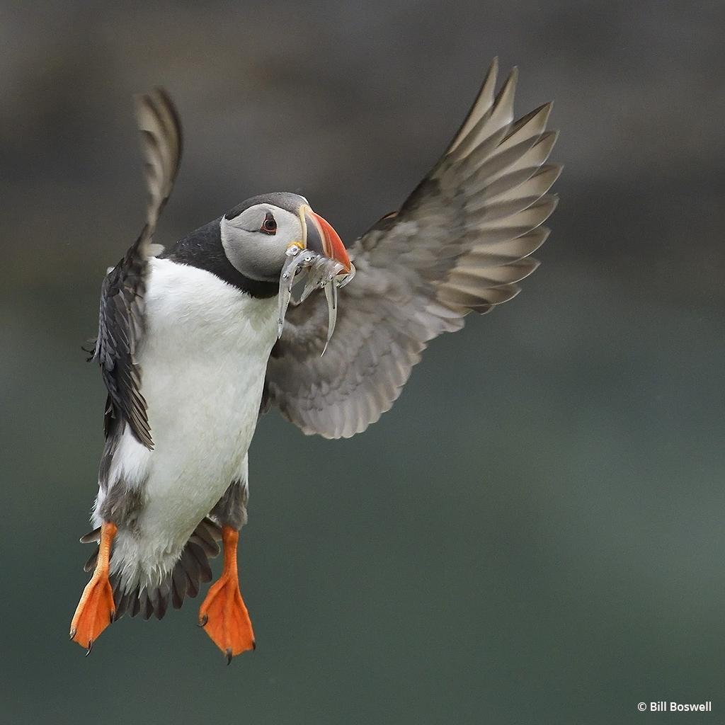 """Today's Photo Of The Day is """"Icelandic Puffin"""" by Bill Boswell. Location: A puffin preserve in Eastern Iceland."""