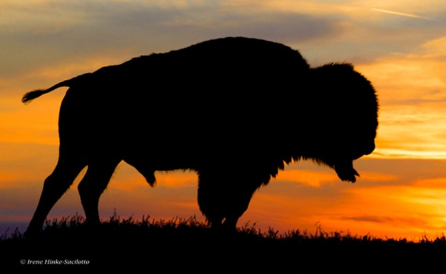 Buffalo on ridge at sunset.